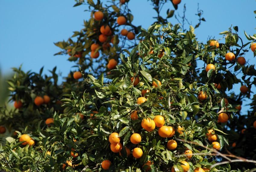 Najíždění kilometrů na Mallorce obrazem: pomerančů je na ostrově dostatek
