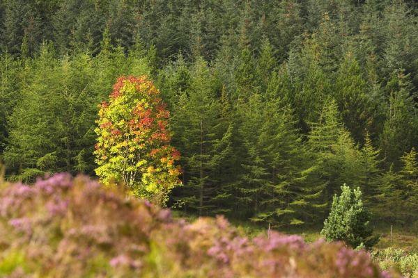 MS MTB Fort William - 6.9. 2007 - skotské stromy pomalu začíná oblíkat pan Podzim